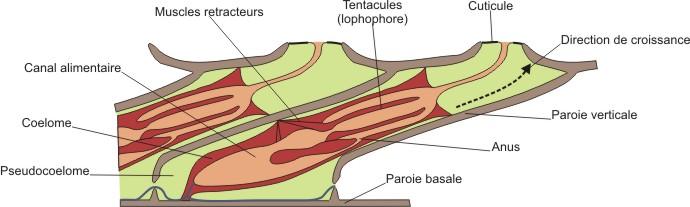 bryozoaire